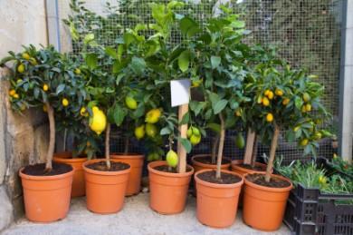 Beauty Of The Indoor Lemon Plant Bonsai Citrus