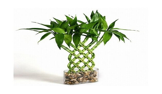 Food For Chinese Bamboo Plant
